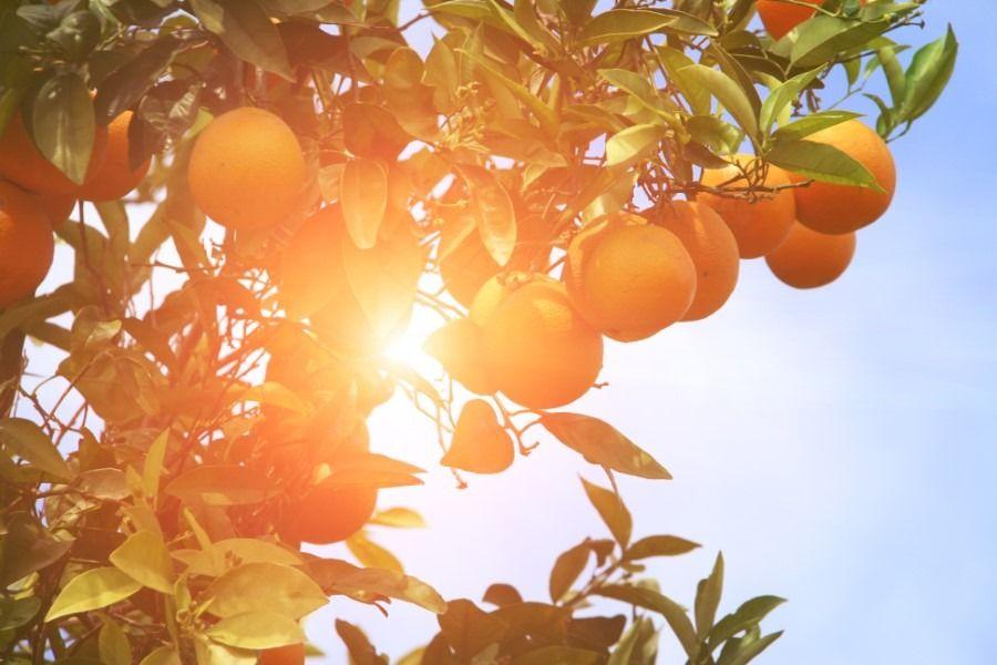 עץ תפוזים