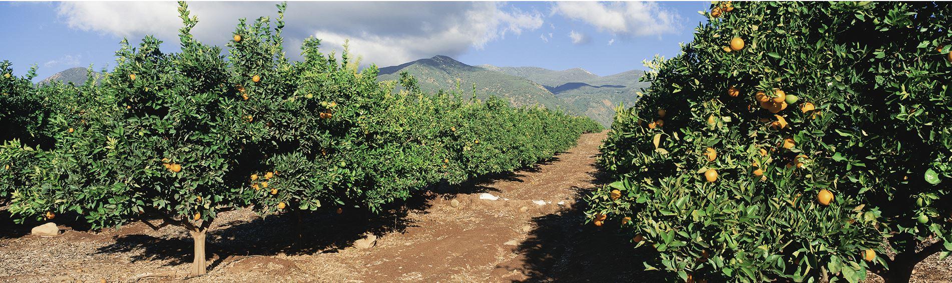 פרדס תפוזים של פריגת
